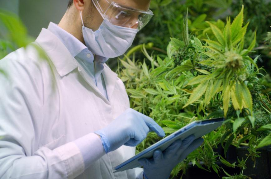 A CBD professional examining cannabis